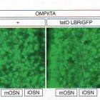 Иванова М.Е. Ядерная аггрегация генов обонятельных рецепторов управляет их моногенной экспрессией (Nuclear Aggregation of Olfactory Receptor Genes Governs Their Monogenic Expression), www.organum-visus.com, пояснения в тексте. 5A