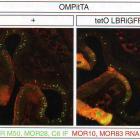Иванова М.Е. Ядерная аггрегация генов обонятельных рецепторов управляет их моногенной экспрессией (Nuclear Aggregation of Olfactory Receptor Genes Governs Their Monogenic Expression), www.organum-visus.com, пояснения в тексте. 6А
